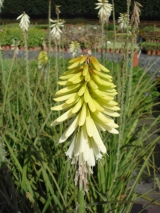 KNIPHOFIA X ICE QUEEN