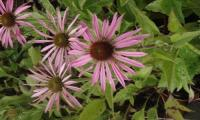Echinaceas