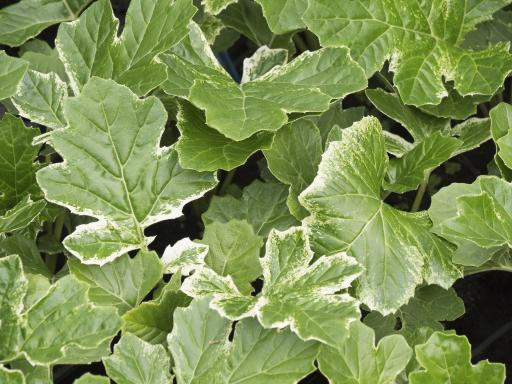 ACANTHUS x 'White Water'