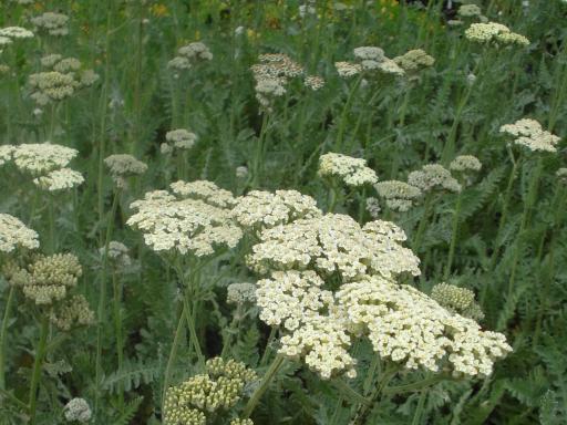 ACHILLEA millefolium 'Alabaster'