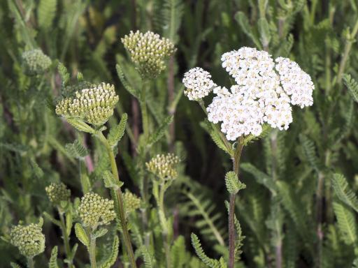 ACHILLEA millefolium 'Heinrich Vogeler'
