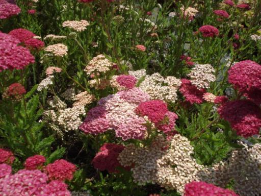 ACHILLEA millefolium 'Lachschönheit'