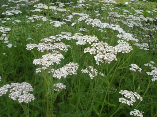 ACHILLEA millefolium 'White Queen'