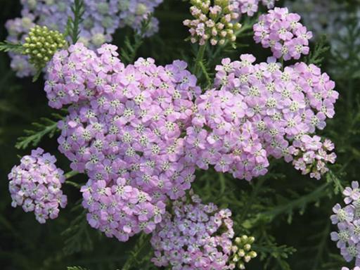 ACHILLEA millefolium 'Wonderful Wampee'