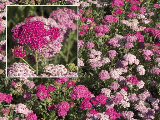 ACHILLEA x 'Saucy Seduction'