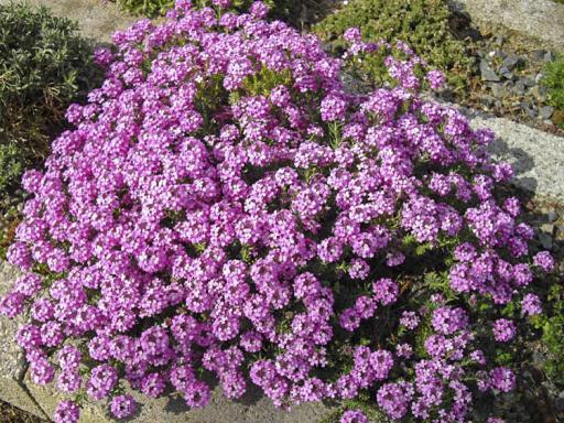 AETHIONEMA armenium 'Warley Rose'
