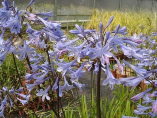 AGAPANTHUS umbellatus 'Blue Triomphator'
