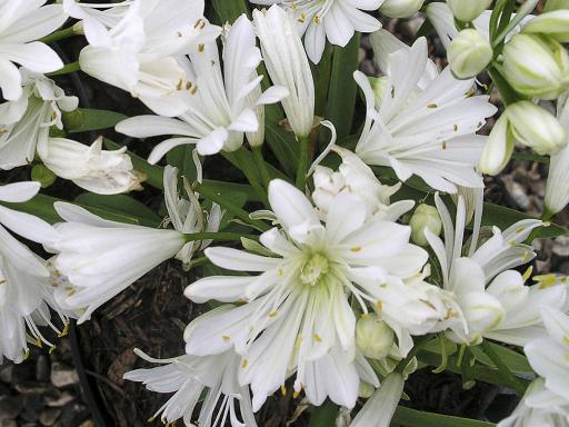 AGAPANTHUS x 'Double Diamond'