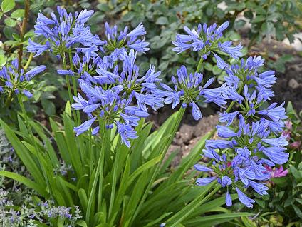 AGAPANTHUS x 'Pitchoune Blue'