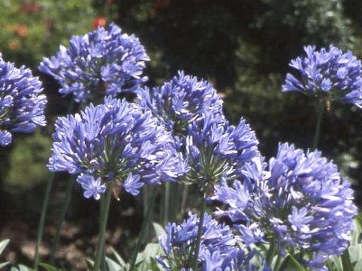 AGAPANTHUS x 'Purple cloud'