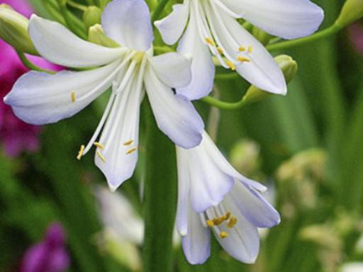 AGAPANTHUS x 'Silver Baby'