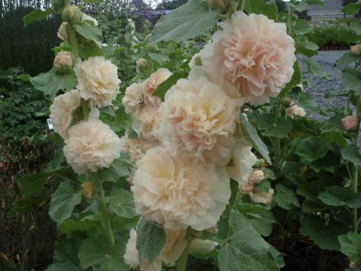 ALCEA rosea 'Chater's Pink'