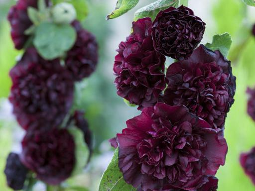 ALCEA rosea 'Chater's Violet'