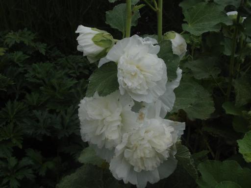 ALCEA rosea 'Chater's white'