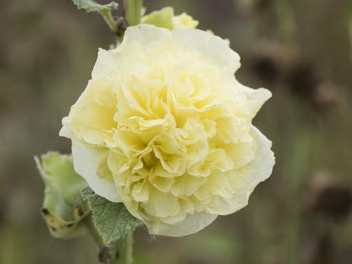 ALCEA rosea 'Chater's Yellow'