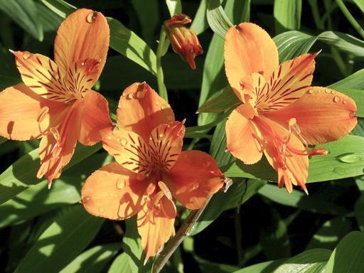 ALSTROEMERIA aurantiacum 'Orange King'