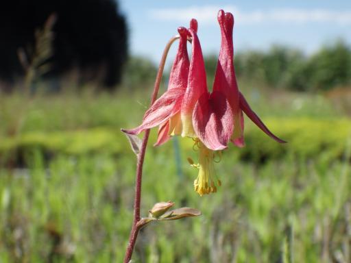 AQUILEGIA canadensis