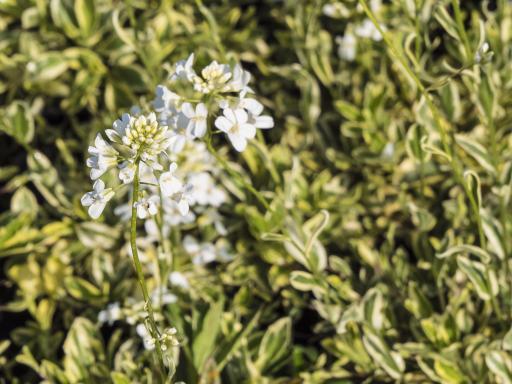 ARABIS ferdinandii 'Coburgii 'Old Gold'