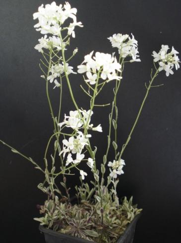 ARABIS ferdinandii 'Coburgii-variegata'