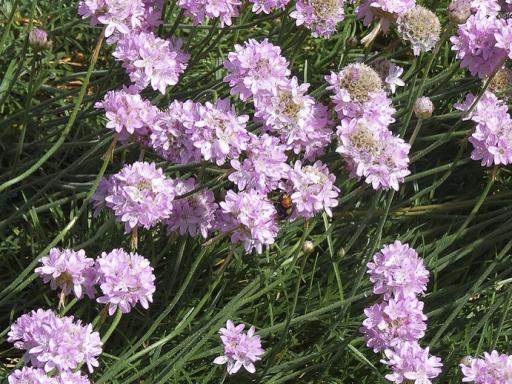 ARMERIA latifolia
