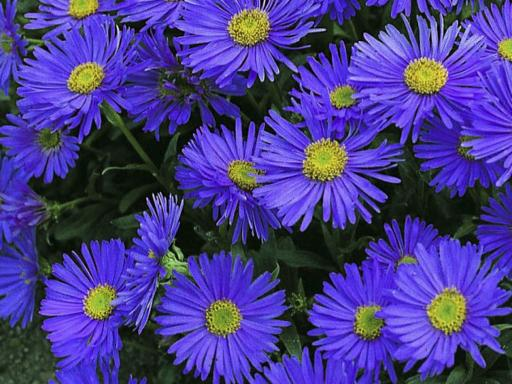 ASTER alpinus 'Violet'