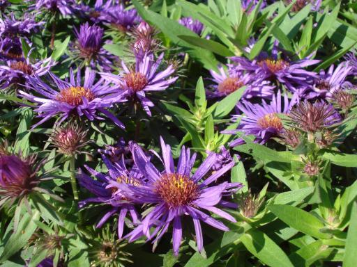 ASTER novii angliae 'Purple dome'