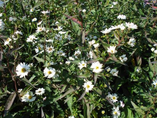 ASTER novii belgii 'White ladies'