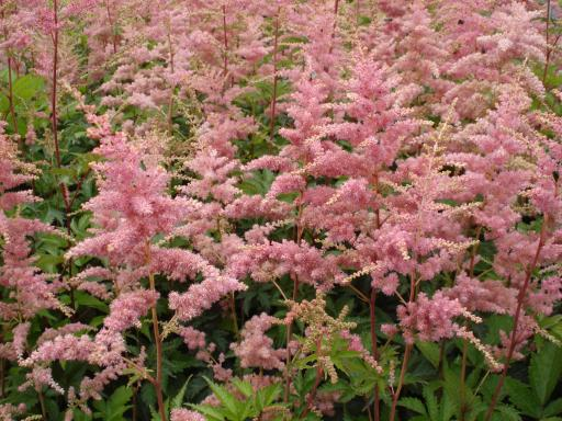 ASTILBE arendsii 'Bressingham beauty'