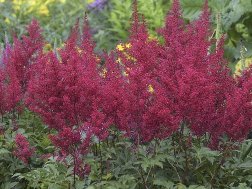 ASTILBE japonica 'Red Sentinelle'