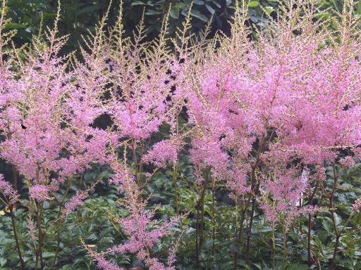 ASTILBE simplicifolia 'Hennie Graffland'