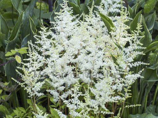 ASTILBE simplicifolia 'White Sensation'
