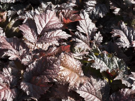 ASTILBE x 'Chocolate Shogun'