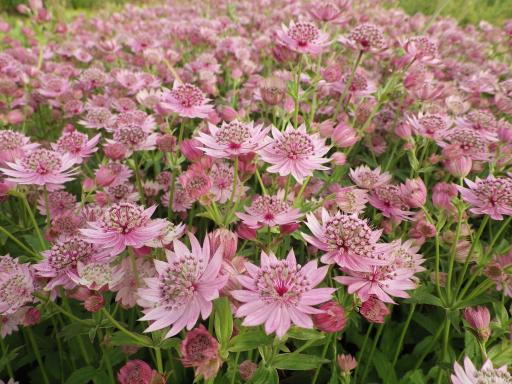 ASTRANTIA major ''Pink Cushion''