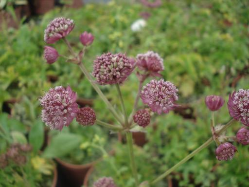 ASTRANTIA major 'Lars'