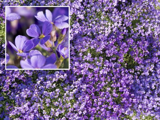 AUBRIETIA deltoïdes 'Bleu'