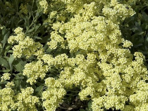 AURINIA saxatilis 'Sulphureum'