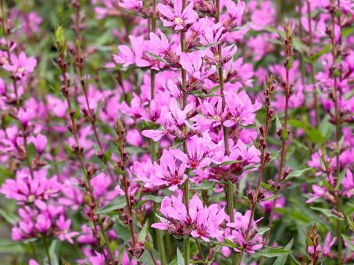 LYTHRUM salicaria 'Rose Queen'