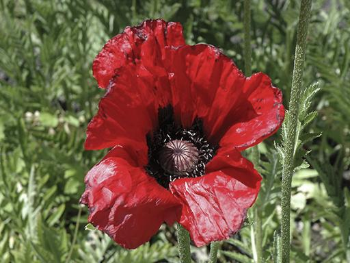 PAPAVER orientalis 'Beauty of Livemere'